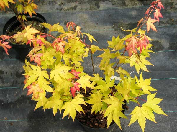 Acer palmatum 'Orange Gream'  /Javor dlanitolistý/