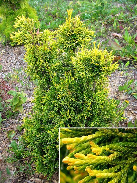Thuja occidentalis 'Coper Gold' /Zerav západní/