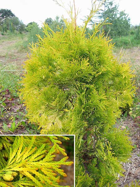 Thuja occidentalis 'Yellow  Ribbon' /Zerav západní/