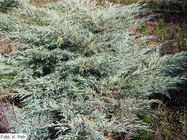 Juniperus virginiana 'Grey Owl' /Jalovec virginský/