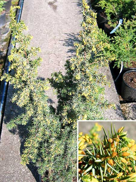 Juniperus communis 'Gold Machangel' /Jalovec obecný/